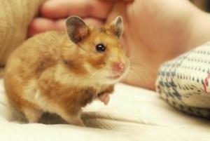 Garde d'animaux à domicile : un hamster