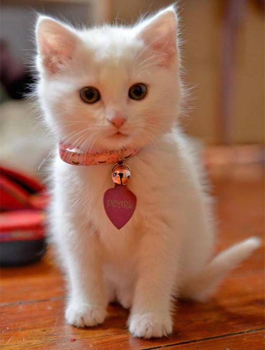 Chaton blanc coeur 10