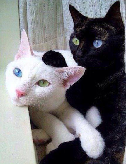 chats aux yeux vairons 1