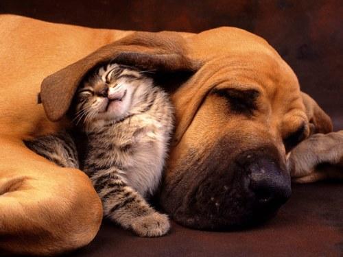 Amitié chien chat  - Chaton sous une oreille de chien