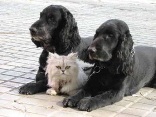 Amitié chien chat - 1 chat entre ses 2 gardes du corps
