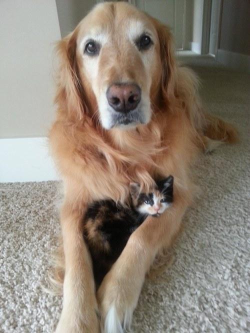 Amitié chien chat - 1 chaton dans les pattes d'un chien