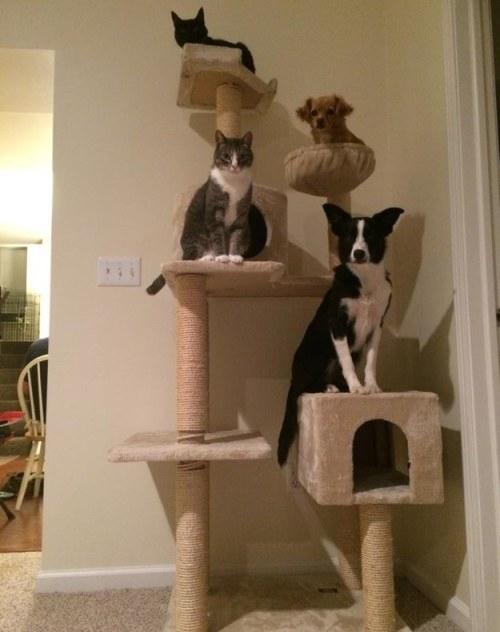 Amitié chien chat - 2 chats et 2 chiens sur un arbre à chat