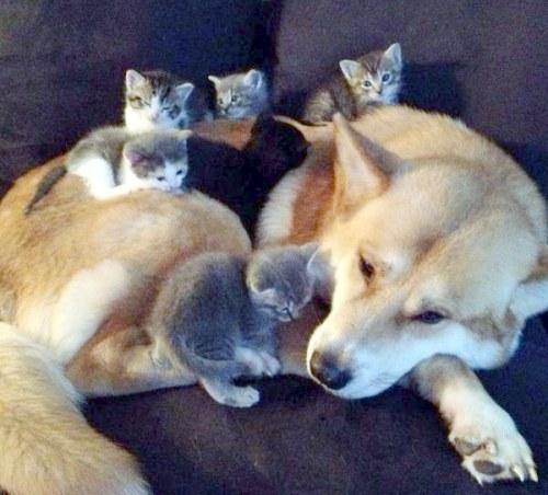 Amitié chien chat - 5 chatons sur un chien
