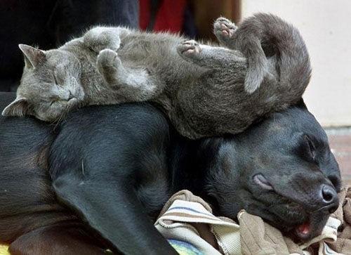 Amitié chien chat  - Chat allongé sur un chein 2