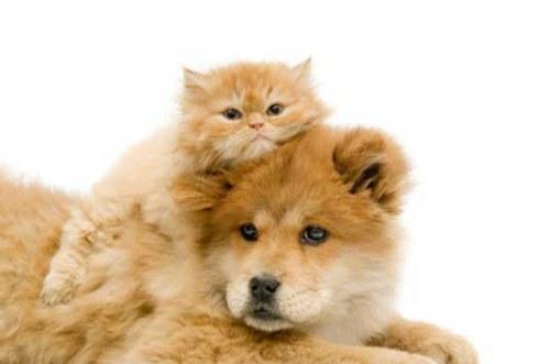 Amitié chien chat - Chat allongé sur un chien