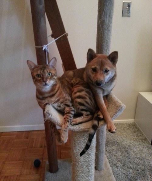 Amitié chien chat - Chat et chien sur un arbre à chat