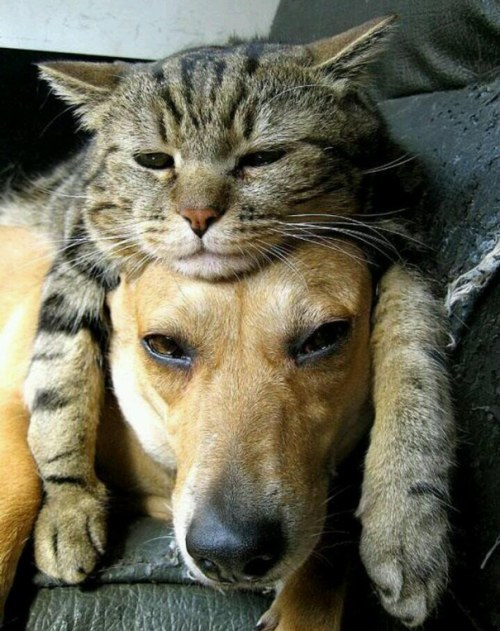 Amitié chien chat - Chat sur la tête d'un chien