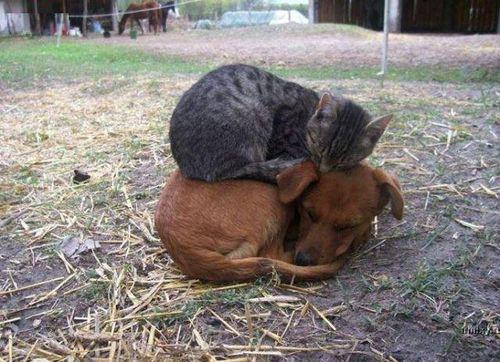 Amitié chien chat  - Chat sur un chien