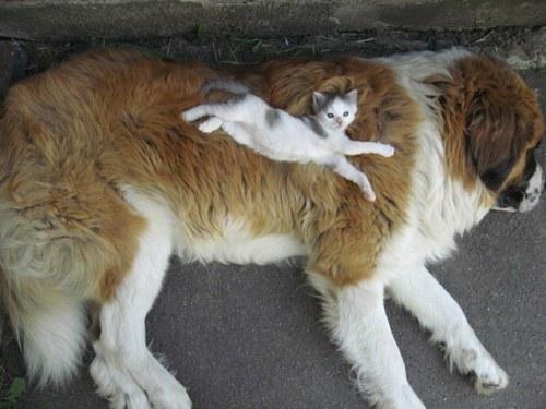 Amitié chien chat - Chaton allongé sur un gros chien