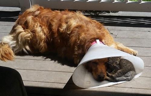 Amitié chien chat - Chaton dans une colerette
