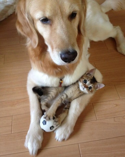 Amitié chien chat - Chaton entre les pattes d'un chien