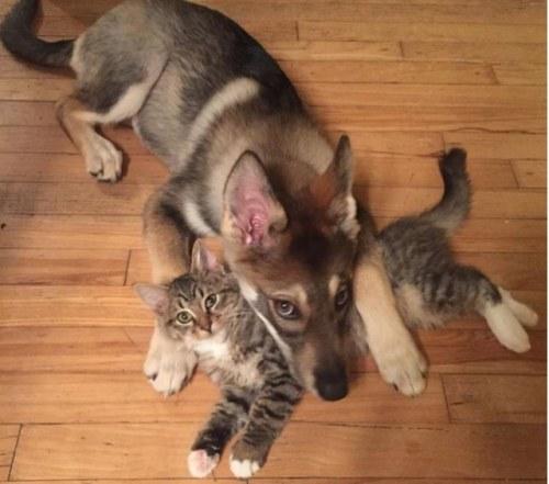 Amitié chien chat - Chien pose sa tete sur un chat