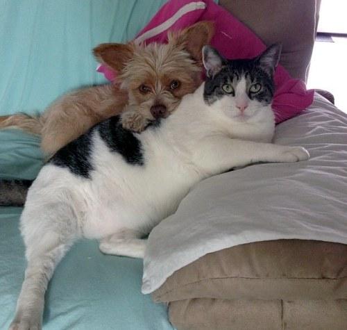 Amitié chien chat - Gros chat et petit chien