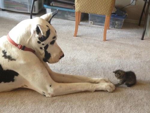 Amitié chien chat - Minuscule chaton et gros chien
