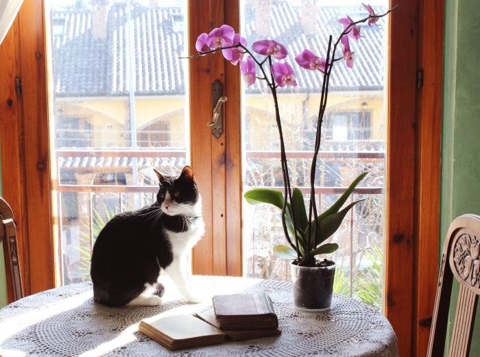 Orchidée non toxique chats