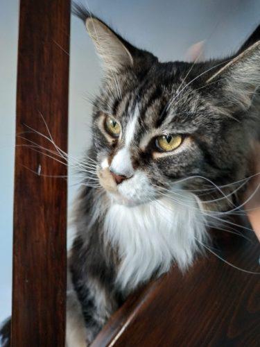 TOP 5 des races de chats en France - Maine Coon - Larysse