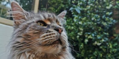 TOP 5 des races de chats en France - Maine Coon - Snow