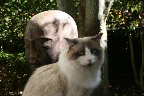TOP 5 des races de chats en France - Ragdoll - Hermione