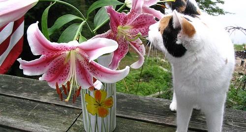 Plantes toxiques pour les chats - le lys